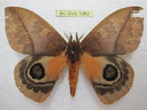 (Automeris mixtus - BC-EvS 1062)  @13 [ ] Copyright (2010) Eric Van Schayck Unspecified