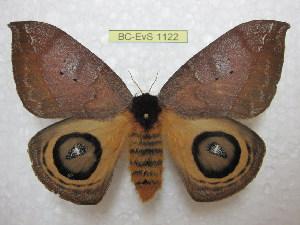 (Automeris banus argentifera - BC-EvS 1122)  @15 [ ] Copyright (2010) Eric Van Schayck Unspecified