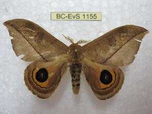 (Automeris annulata - BC-EvS 1155)  @14 [ ] Copyright (2010) Eric Van Schayck Research Collection of Eric Van Schayck