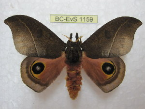 (Automeris innoxia - BC-EvS 1159)  @15 [ ] Copyright (2010) Eric Van Schayck Research Collection of Eric Van Schayck