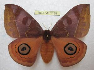 (Automeris jucunda - BC-EvS 1187)  @15 [ ] Copyright (2010) Eric Van Schayck Research Collection of Eric Van Schayck