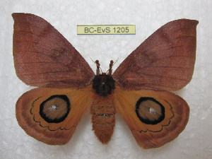 (Automeris punochacona - BC-EvS 1205)  @15 [ ] Copyright (2010) Eric Van Schayck Research Collection of Eric Van Schayck