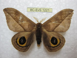 (Automeris harrisorum - BC-EvS 1221)  @15 [ ] Copyright (2010) Eric Van Schayck Research Collection of Eric Van Schayck