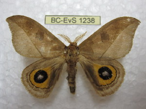 (Automeris dunschei - BC-EvS 1238)  @14 [ ] Copyright (2010) Eric Van Schayck Research Collection of Eric Van Schayck