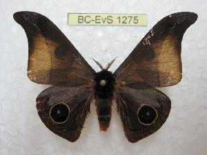 (Automeris balachowskyi - BC-EvS 1275)  @14 [ ] Copyright (2010) Eric Van Schayck Research Collection of Eric Van Schayck