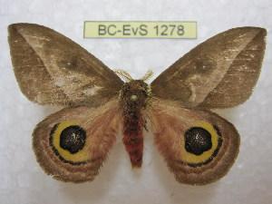 (Automeris basalis - BC-EvS 1278)  @14 [ ] Copyright (2010) Eric Van Schayck Research Collection of Eric Van Schayck