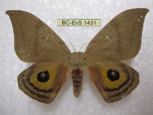 (Automeropsis - BC-EvS 1431)  @14 [ ] Copyright (2010) Eric Van Schayck Research Collection of Eric Van Schayck