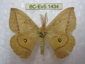 (Adetomeris - BC-EvS 1434)  @14 [ ] Copyright (2010) Eric Van Schayck Research Collection of Eric Van Schayck