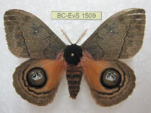 (Automeris amanda tucuman - BC-EvS 1509)  @15 [ ] Copyright (2010) Eric Van Schayck Research Collection of Eric Van Schayck
