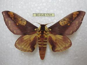 (Citheronia - BC-EvS 1701)  @15 [ ] Copyright (2010) Eric Van Schayck Research Collection of Eric Van Schayck