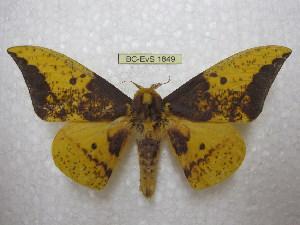 (Eacles imperialis anchicaensis - BC-EvS 1849)  @14 [ ] Copyright (2010) Eric Van Schayck Research Collection of Eric Van Schayck