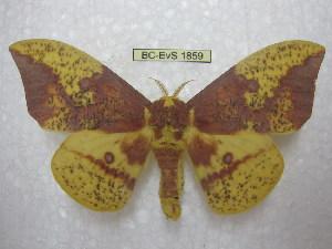 (Eacles imperialis imperialis - BC-EvS 1859)  @14 [ ] Copyright (2010) Eric Van Schayck Research Collection of Eric Van Schayck