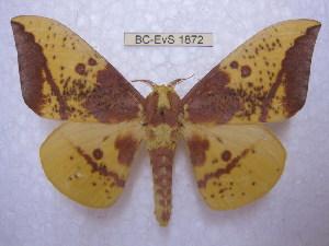 (Eacles imperialis magnefica - BC-EvS 1872)  @15 [ ] Copyright (2010) Eric Van Schayck Research Collection of Eric Van Schayck