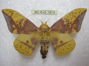 (Eacles imperialis opaca - BC-EvS 1873)  @15 [ ] Copyright (2010) Eric Van Schayck Research Collection of Eric Van Schayck