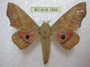 (Syssphinx molina - BC-EvS 1933)  @14 [ ] Copyright (2010) Eric Van Schayck Research Collection of Eric Van Schayck