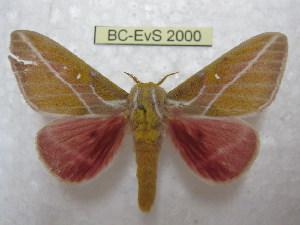(Syssphinx gomezi - BC-EvS 2000)  @14 [ ] Copyright (2010) Eric Van Schayck Research Collection of Eric Van Schayck