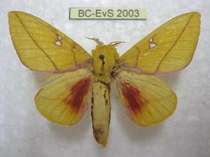 (Syssphinx mexisinaloana - BC-EvS 2003)  @14 [ ] Copyright (2010) Eric Van Schayck Research Collection of Eric Van Schayck
