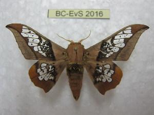 (Neorcarnegia - BC-EvS 2016)  @15 [ ] Copyright (2010) Eric Van Schayck Research Collection of Eric Van Schayck