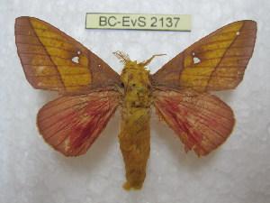 (Syssphinx yucatana - BC-EvS 2137)  @14 [ ] Copyright (2010) Eric Van Schayck Research Collection of Eric Van Schayck