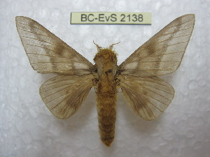 (Syssphinx amena - BC-EvS 2138)  @15 [ ] Copyright (2010) Eric Van Schayck Research Collection of Eric Van Schayck