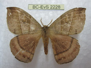 (Prohylesia peruviana - BC-EvS 2228)  @14 [ ] Copyright (2010) Eric Van Schayck Research Collection of Eric Van Schayck