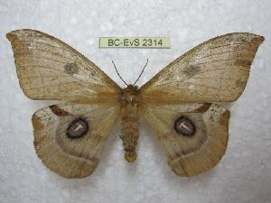 (Agliinae - BC-EvS 2314)  @15 [ ] Copyright (2010) Eric Van Schayck Research Collection of Eric Van Schayck