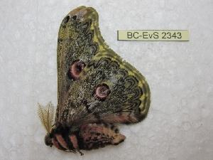 (Saturnia diversa - BC-EvS 2343)  @12 [ ] Copyright (2010) Eric Van Schayck Research Collection of Eric Van Schayck