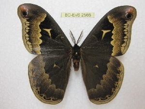 (Callosamia - BC-EvS 2566)  @15 [ ] Copyright (2012) Eric van Schayck Research Collection of Eric Van Schayck