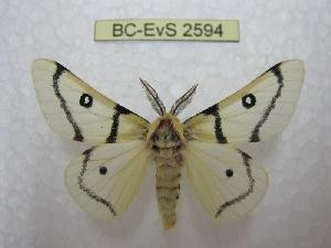 (Hemileuca burnsi - BC-EvS 2594)  @14 [ ] Copyright (2012) Eric van Schayck Research Collection of Eric Van Schayck