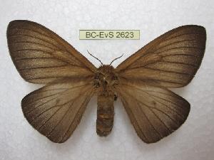 (Ithomisa - BC-EvS 2623)  @15 [ ] Copyright (2012) Eric van Schayck Research Collection of Eric Van Schayck