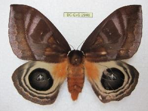 (Automeris postalbida - BC-EvS 2948)  @15 [ ] Copyright (2012) Eric van Schayck Research Collection of Eric Van Schayck