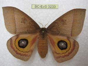(Automeris hesselorum - BC-EvS 3233)  @14 [ ] Copyright (2012) Eric van Schayck Research Collection of Eric Van Schayck
