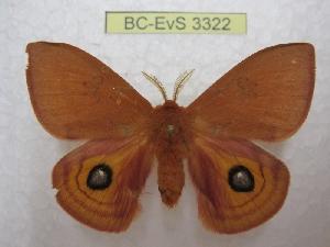 (Automeris patagoniensis - BC-EvS 3322)  @14 [ ] Copyright (2012) Eric van Schayck Research Collection of Eric Van Schayck