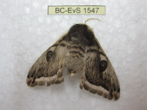 (Saturnia silkae - BC-EvS 1547)  @14 [ ] Copyright (2010) Eric Van Schayck Research Collection of Eric Van Schayck