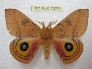 (Automeris neomexicana - BC-EvS 2379)  @11 [ ] Copyright (2010) Eric Van Schayck Research Collection of Eric Van Schayck