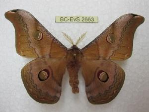 (Saturnia chachara - BC-EvS 2663)  @15 [ ] Copyright (2012) Eric van Schayck Unspecified