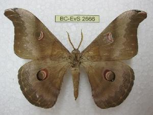 (Saturnia chachara - BC-EvS 2666)  @15 [ ] Copyright (2012) Eric van Schayck Unspecified