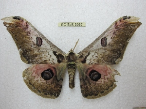 (Saturnia lesoudirie - BC-EvS 3057)  @13 [ ] Copyright (2012) Eric van Schayck Unspecified