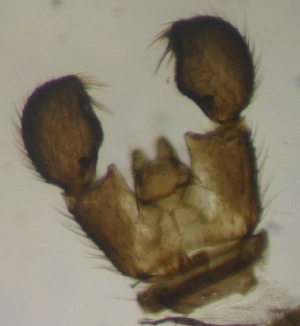 (Corynoptera irmgardis - JS-COI-2016-0009)  @12 [ ] CreativeCommons - Attribution Non-Commercial (2016) Marko Mutanen University of Oulu