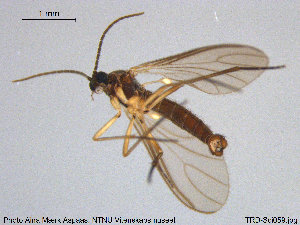 (Lycoriella freyi - TRD-Sci059)  @12 [ ] CreativeCommons - Attribution Non-Commercial Share-Alike (2015) NTNU University Museum, Department of Natural History NTNU University Museum, Department of Natural History