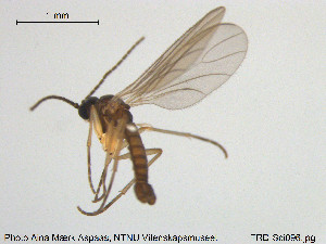 (Lycoriella acutostylia - TRD-Sci096)  @12 [ ] CreativeCommons - Attribution Non-Commercial Share-Alike (2015) NTNU University Museum, Department of Natural History NTNU University Museum, Department of Natural History