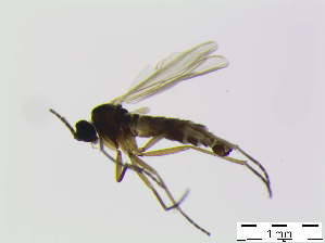(Bradysia subrufescens - bf-sci-00254)  @13 [ ] CreativeCommons - Attribution Non-Commercial Share-Alike (2014) Oivind Gammelmo BioFokus