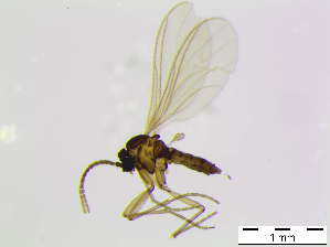 (Corynoptera cf. perornata - bf-sci-01016)  @11 [ ] CreativeCommons - Attribution Share-Alike (2015) OlsenGammelmo BioFokus