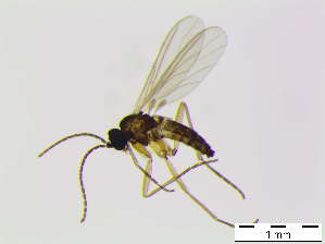 (Bradysia sp. rufescens - bf-sci-01139)  @11 [ ] CreativeCommons - Attribution Non-Commercial Share-Alike (2016) Kjell Magne Olsen BioFokus