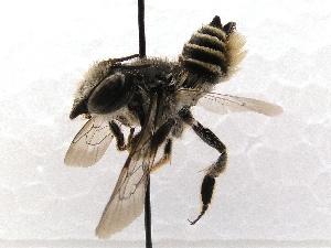 (Megachile SanDiego Sp.2 - KJH.3688)  @14 [ ] Unspecified (default): All Rights Reserved  Unspecified Unspecified
