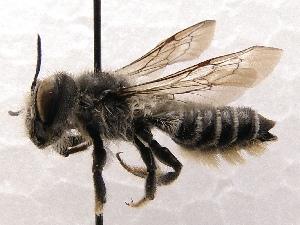 (Megachile SanDiego Sp.6 - KJH.885)  @14 [ ] Unspecified (default): All Rights Reserved  Unspecified Unspecified