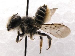 (Megachile SanDiego Sp.7 - KJH.1266)  @14 [ ] Unspecified (default): All Rights Reserved  Unspecified Unspecified