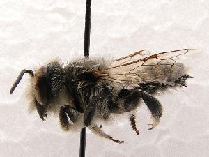 (Megachile SanDiego Sp.A - KJH.4323)  @14 [ ] Unspecified (default): All Rights Reserved  Unspecified Unspecified