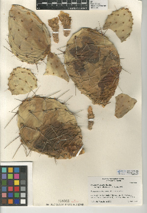 (Opuntia phaeacantha - CCDB-24938-A04)  @11 [ ] CreativeCommons - Attribution Non-Commercial Share-Alike (2015) SDNHM San Diego Natural History Museum