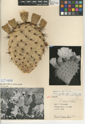 (Opuntia oricola - CCDB-24938-B04)  @11 [ ] CreativeCommons - Attribution Non-Commercial Share-Alike (2015) SDNHM San Diego Natural History Museum